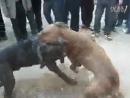 Собачьи бои питбуль vs тот большой питбуль