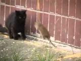 Крыса против стаи котов