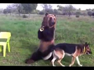 Дрессированный медведь по кличке Тима исполняет трюки