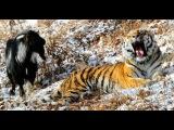 Вольер тигра Амура и козла Тимура оснастят веб-камерами