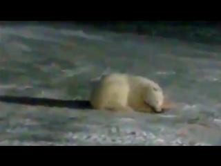 На острове Врангеля сотрудник Русальянса убил белую медведицу. 18+