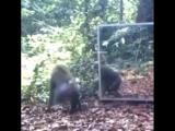 обезьяны умные