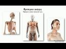 Мышечная ткань Строение и функции скелетных мышц Урок 5 часть 1 Видеоуроки по массажу