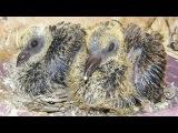 Голуби - Птенцы голубей - Мама и папа кормят птенцов - Голубиная Сага - 4 серия