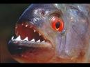 Блогер GConstr заценил! Пираньи Едят Креветки. Piranhas Eat Shri. От Alexander Kondrashov
