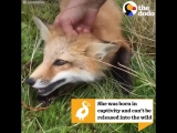 Baby Fox Saved From Fur Farm Goes Hiking Now