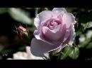 Розы и саксофон Roses Fausto Papetti Amado Mio