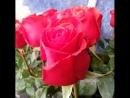 Многообразие голландской розы