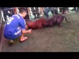 Собачьи бои пит-яма питбуль терьеры Вьетнам ФУ vs Бун 1 победа ФУ