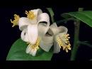 Как распускаются цветы Шедевр