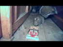 Fez armadilha pra pegar um rato mas quem se fodeu foi o esquilo