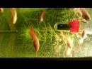 Мальки петушка 1 месяц - едят артемию