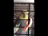 Мой говорящий попугай .😊