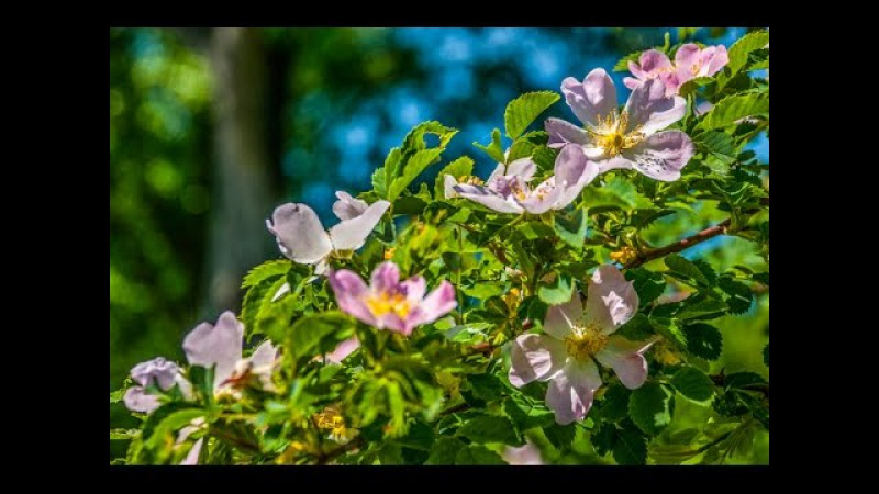 Аромат шиповника/Das Aroma der Heckenrose