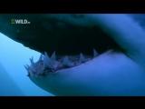Большая Белая Акула.Суперхищники. 1 Nat Geo Wild