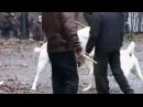 Суровые собачии бои - Видео Dailymotion