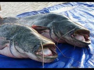 Нижняя Волга, рыбалка на Волге, ловля сома