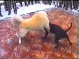Собачьи бои питбуль терьер vs турецкий акбаш