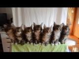 Kittens born April 10, 2014 - GC Triskel Naomi Sun x GC Celtic Cats Helios of Tr