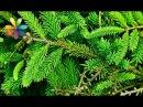 Сибирское хвойное варенье из еловых иголок Все буде добре Выпуск 739 от 13 01 16