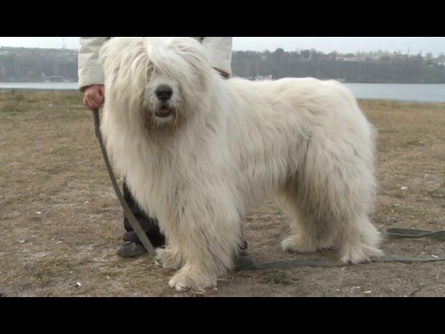 Южнорусская овчарка Планета собак 🌏 Моя Планета