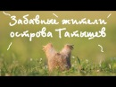 Суслики, забавные жители Татышев / Gophers, the funny inhabitants of the Tatyshev in Krasnoyarsk