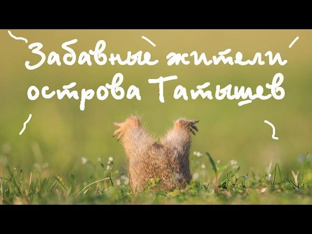 Суслики, забавные жители Татышев Gophers, the funny inhabitants of the Tatyshev in Krasnoyarsk
