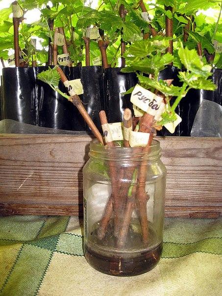 Зимой виноград из черенков в домашних условиях