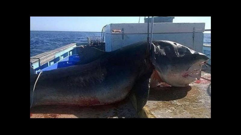 CAPTURAN AL MONSTRUOSO TIBURON MEGALODON EN AUSTRALIA. Capturan a un monstruoso tiburón en Australia