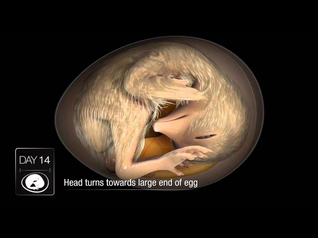 Chicken Embryo Development
