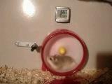 Hamster VTEC Miss-Shift
