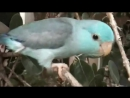 """Pacific Parrotlets """"Baby Plays in Tree"""" - Talkative Parrotlet"""