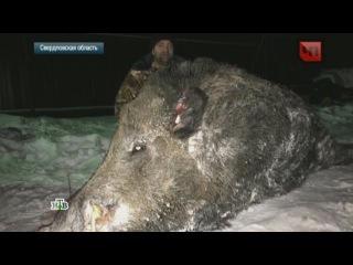 Жесть! Суровый Челябинский кабан-мутант весом более 500 кг и 2 м в холке. Даже ученые в шоке.