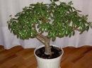 Правильно сажаем денежное дерево