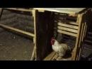 лиса застукали в курятнике