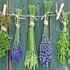 Лечебные травы Алтая. Болиголов, аконит, сборы