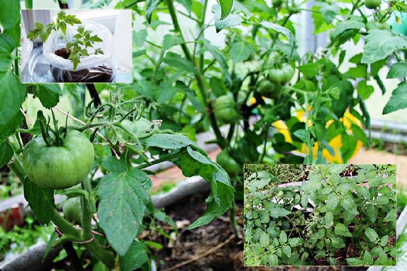 томаты выращенный в полиэтиленовом пакете
