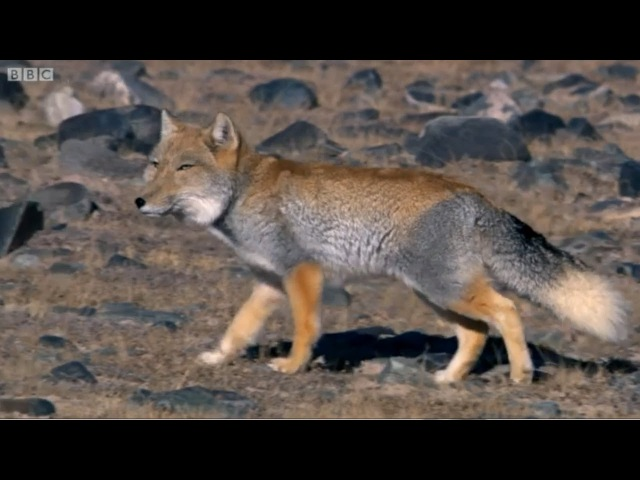 A Tibetan Fox and a Brown Bear hunting Pikas in the Himalayas