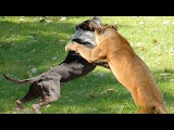 Wild animals hunting dog. Pit bull vs tiger. Leopard attack guard dogs. Mountain lion vs dog.