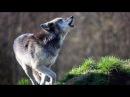 Черные волки. Волк одиночка. Документальный фильм.