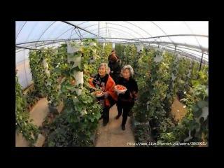 Выращивание клубники круглый год в мешках в закрытом грунте