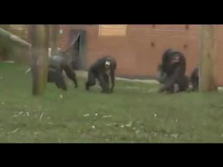 Лысые обезьяны дерутся, а другие их разнимают