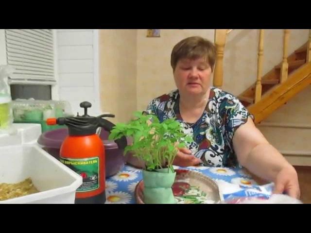 И снова о пикировке томатов в пеленки.