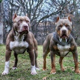 собаки накаченные фото