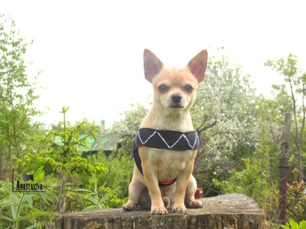 Шлейка для собаки своими руками (4 фото) - картинка