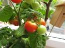 Помидоры в теплице без ухода. 1. Посадка 🍅 Tomatoes in a greenhouse without a care. 1. Planting