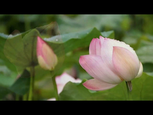 Лотос - священный цветок чистоты... Secret Garden - lotus...
