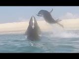 Морской котик убегает от акулы