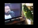 The parrot imitates Pavarotti