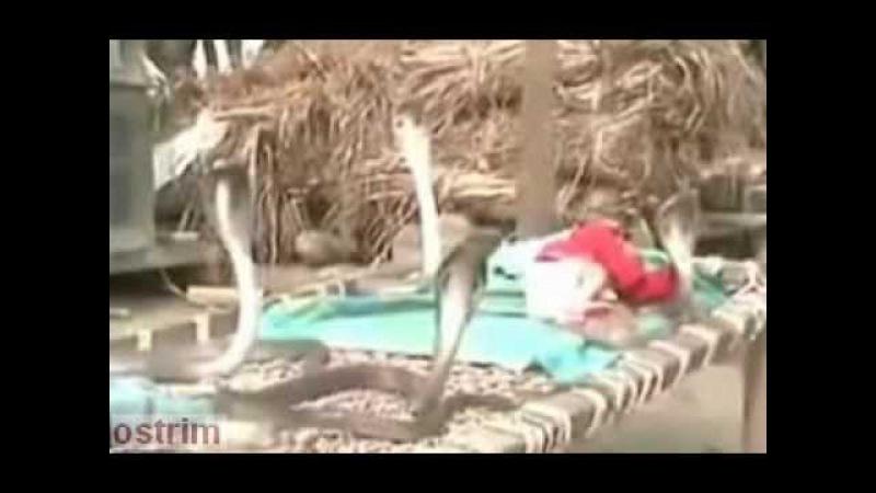 кобры охраняют ребёнка Cobra protect child